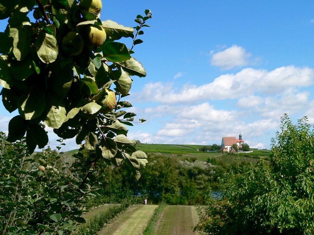 """Eine reiche Ernte kündigt sich auf dem deutschlandweit einzigartigen Astheimer Quittenlehrpfad an – jenseits der Wallfahrtskirche """"Maria im Weingarten""""."""