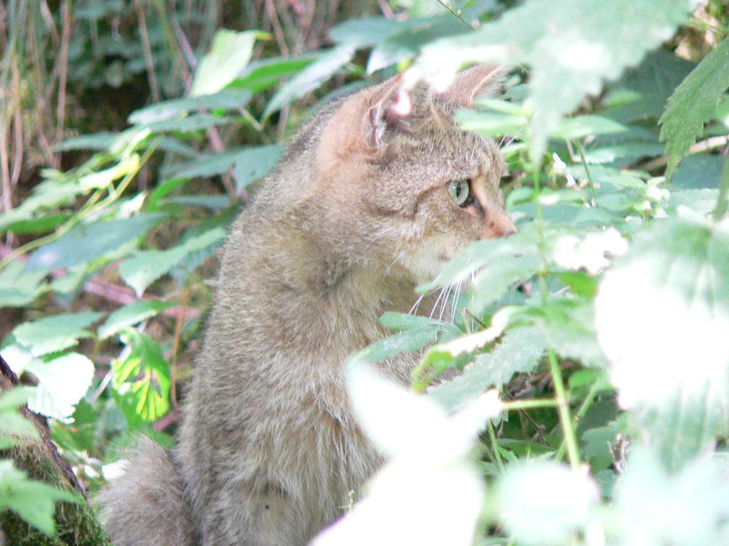 Scheu und gut getarnt: die Wildkatze.