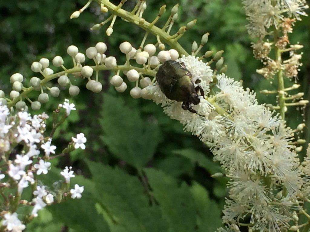 Die Menschen staunen und die Tiere schwirren und krabbeln ob dieser Blütenpracht in den Mönchsondheimer Museumskräutergärten.